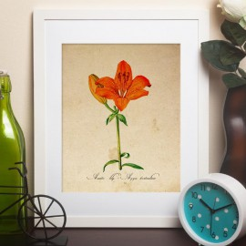 Asiatic Lily - Aggie Horticulture
