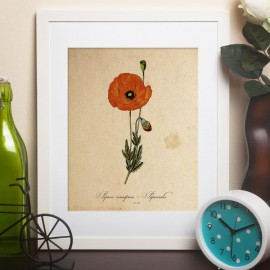 Papaver somniferum -   Papaverales - poppy